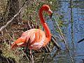 American Flamingo RWD1.jpg