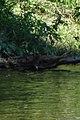 American Mink (Neovison vison) - Thunder Bay, Ontario 03.jpg