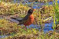 American Robin, Isabel Lake, Kamloops, BC (8728254394).jpg