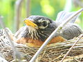 American Robin in Nest1.jpg