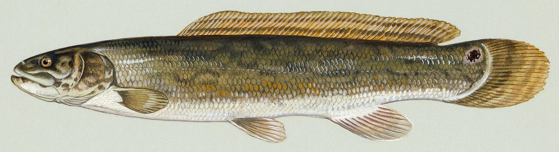 Spearfishing for tx non game fish aka carp for Texas non game fish
