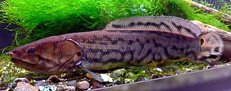 Bowfin - Bowfin in aquarium
