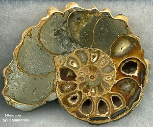 Ammonoidea - An ammonite shell viewed in section, revealing the internal  chambers and septa. Large polished examples are prized for their aesthetic, as well as scientific, value.