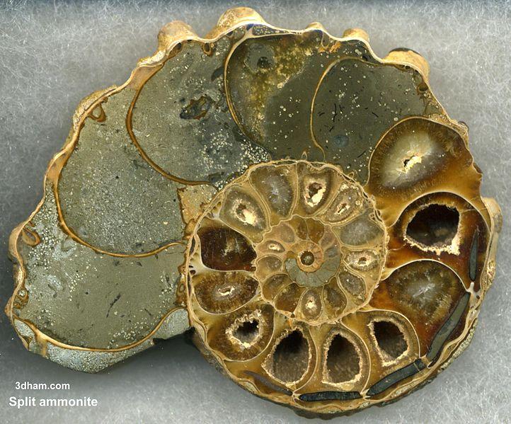 … ammoniter är klassiska ledfossil.