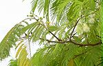 Anadenanthera colubrina.jpg