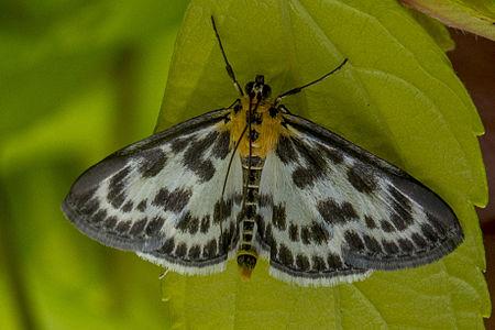 Anania hortulata, Lodz(Poland)(js)3.jpg
