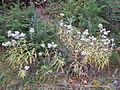 Anaphalis margaritacea (5192271961).jpg