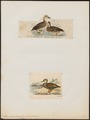 Anas superciliosa - 1700-1880 - Print - Iconographia Zoologica - Special Collections University of Amsterdam - UBA01 IZ17600395.tif