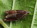 Ancylis mitterbacheriana - Серпокрылая листовёртка дубовая (40362648415).jpg