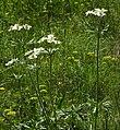 Anemone narcissiflora RF.jpg