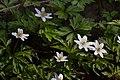 Anemone nemorosa 07.jpg