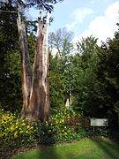 Anglesey Abbey - Lightning tree.jpg
