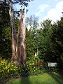 Anglesey Abbey - Lightning tree.jpg