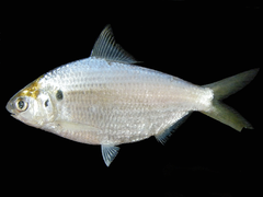Anodontostoma chacunda Thailand.png