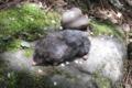 Anourosorex squamips yamashinai (adult) PShaner 2011-5-4.png