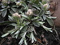 Antennaria neglecta runners.JPG