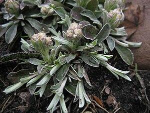 Antennaria - Image: Antennaria neglecta runners