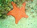 Anthaster valvulatus P1192613.JPG