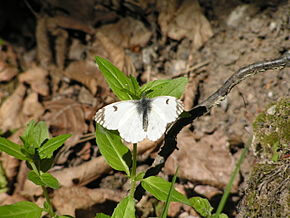 Description de l'image  Image:Anthocaris cardamines female1.jpg .