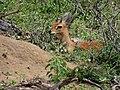 Antilope-parc kruger-2012-02.JPG