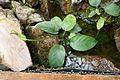 Anubias barteri-Jardin botanique Jean-Marie Pelt (1).jpg