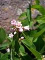Apocynum androsaemifolium-6-22-04.jpg