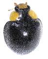 Apolinus lividigaster male.jpg
