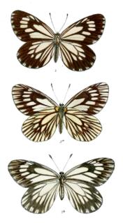 <i>Aporia harrietae</i> species of insect