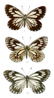 Aporia harrietae 524.png