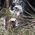 Aquila fasciata juveniles.jpg