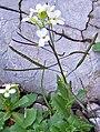 Arabis alpina a2.jpg