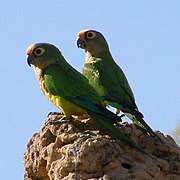 الببغاء Parrot 180px-Aratinga_aurea_-Brazil-8-4c