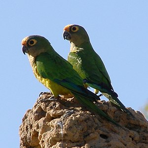 Peach-fronted parakeet - On a termite mound in Minas Gerais, Brazil