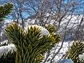 Araucaria Reserva Nacional Malalcahuello-Nalcas 05.jpg
