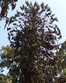Araucaria bidwillii 1 hatem moushir.JPG