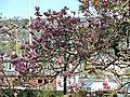 Arboretum Zürich - Magnolia × soulangeana 2014-04-09 16-44-56 (P7800).JPG