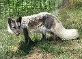 Arctic Fox 001.jpg