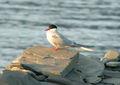 Arctic Tern (Sterna paradisaea).jpg