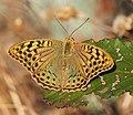 Argynnis pandora 20140805.jpg