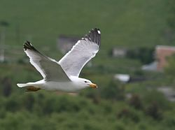 Armenian Gull in flight, near Sevanavank, June 2008.jpg