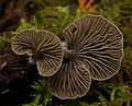 Arrhenia acerosa (Fr.) Kühner 389639.jpg