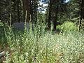 Artemisia ludoviciana ssp. incompta (8001061677).jpg