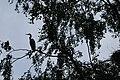 Artis Heron silhouette (3563654006).jpg