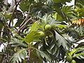 Artocarpus altilis in Malaysia.jpg