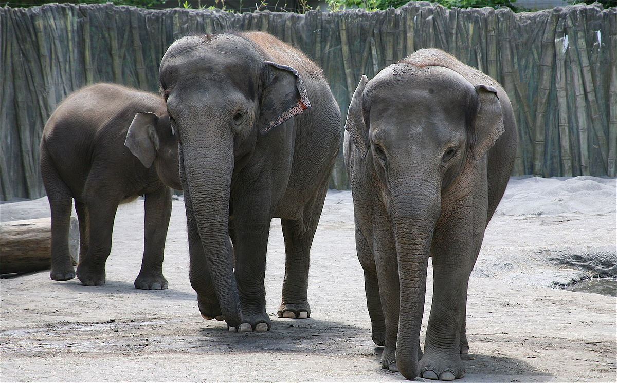 zoo elephants Adult african elephants are huge males can weigh as much as a school bus even their teeth are big—an adult's molar is the size of a brick.