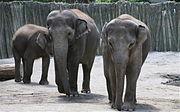 Oregon Zoo maintains a successful breeding program for Asian Elephants (Elephas maximus).