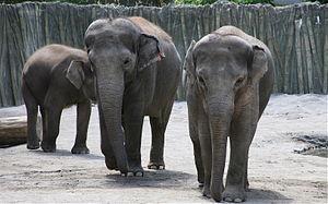 Oregon Zoo - Asian elephants at the zoo
