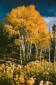 Aspens, Boulder Mountain (3679558910).jpg