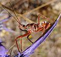 Assassin Bug.. Reduviidae. Rhinocoris erythropus - Flickr - gailhampshire (2).jpg