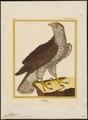 Astur palumbarius - 1700-1880 - Print - Iconographia Zoologica - Special Collections University of Amsterdam - UBA01 IZ18300009.tif